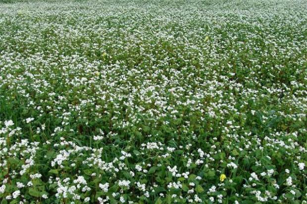 Ogłoszenie rolnicze: Ukraina.Len mielony, maka z nasion, ekstrahowany olej,siemie 1 zl/kg