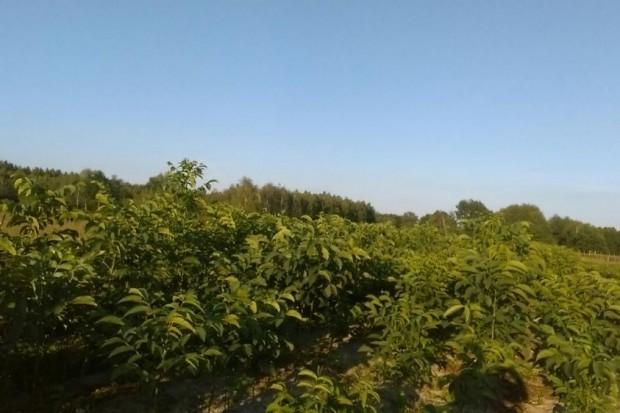 Ogłoszenie rolnicze: orzech włoski drzewka