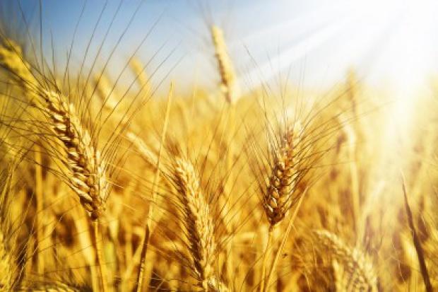 Ogłoszenie rolnicze: Sprzedam pszenice