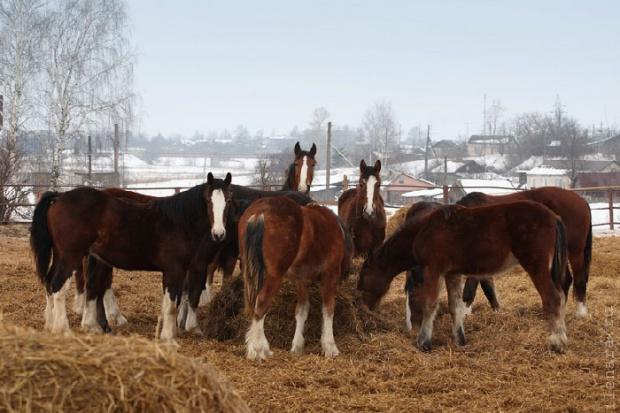 Ogłoszenie rolnicze: Ukraina.Ciezkie konie wlodzimierskie o duzej masie ciala w cenie zywca 3 zl/kg