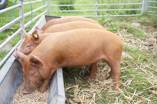 Ogłoszenie rolnicze:  Ukraina. Skup zywca 6 zl/kg, chow tucznikow. Chlewnie, gospodarstwo rolne