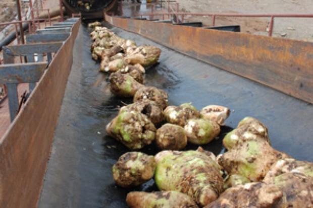 Ogłoszenie rolnicze:  Ukraina. Burak cukrowy 80 zl/tona, melasowanie pasz od 250 zl/tona