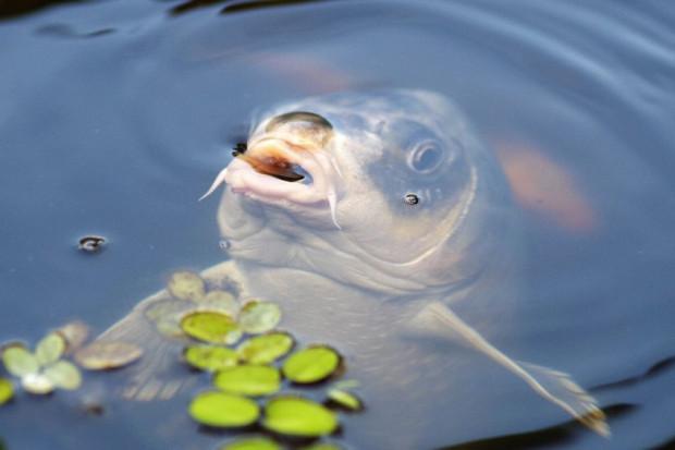 Ogłoszenie rolnicze: Karp żywy - ryba w ilościach hurtowych