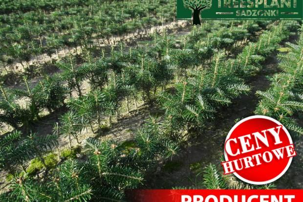 Ogłoszenie rolnicze: Sadzonki Świerk Srebrny , Pospolity, Serbski, Jodła Kaukaska na Plantacje