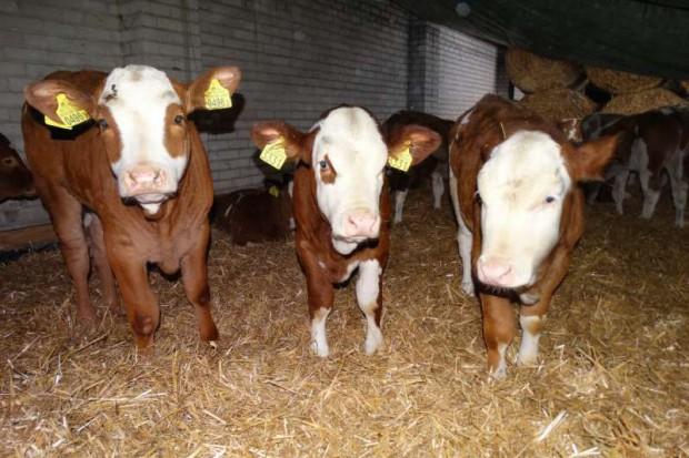 Ogłoszenie rolnicze: Cielęta rasy Simental! 100 % mięsne POLSKIE