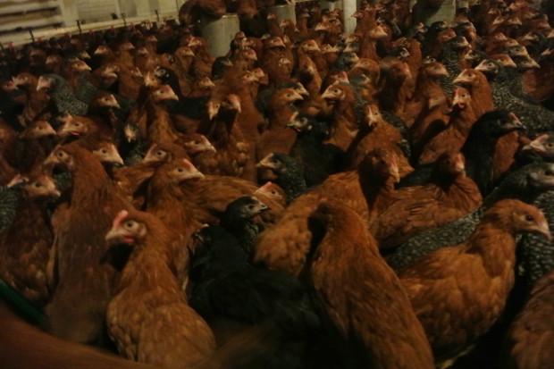 Ogłoszenie rolnicze: Kurki Nioski Rossa Ogólnoużytkowe Chwaszczyno 9 tygodni