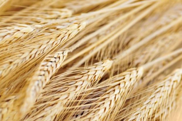 Ogłoszenie rolnicze: Sprzedaż żyta konsumpcyjnego