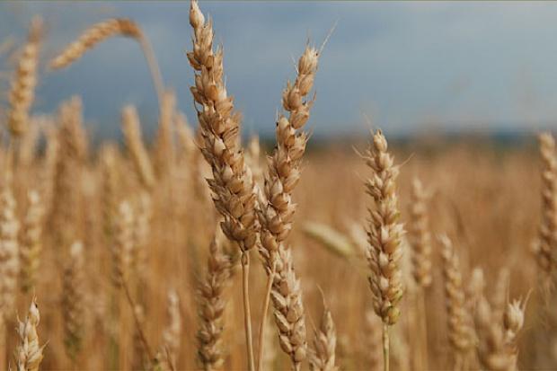 Ogłoszenie rolnicze: kupię pszenicę