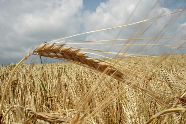 Ogłoszenie rolnicze: Kupię zboża ekologiczne i w konwersji! Szybka płatność! Najlepsze ceny!