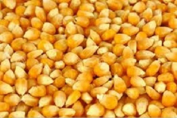 Ogłoszenie rolnicze: Kupimy 1500 ton kukurydzy suchej w cenie 670 zł/t netto z dostawą.
