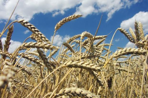 Ogłoszenie rolnicze: Skup zbóż ekologicznych! Cała Polska! Szybka płatność!
