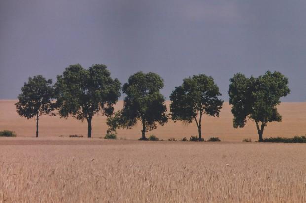 Ogłoszenie rolnicze: Pszenica ozima Desamo, Julius  - w st. C/1