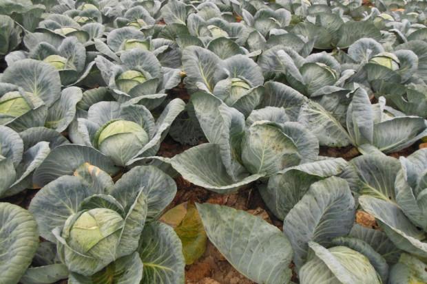 Ogłoszenie rolnicze: Kapusta Biała główki lub szatkowana