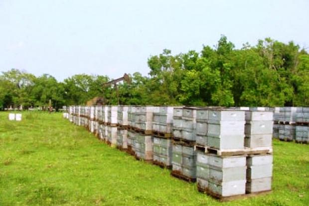 Ogłoszenie rolnicze: Miod 6 zl/kg. Gospodarstwa pszczelarskie, pasieczne. Wosk, propolis