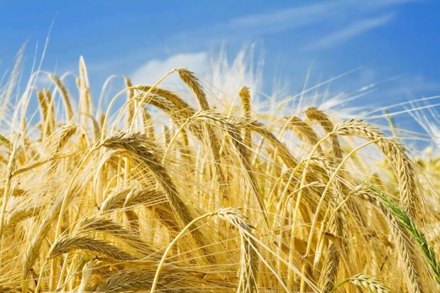 Ogłoszenie rolnicze: Kupię jęczmień