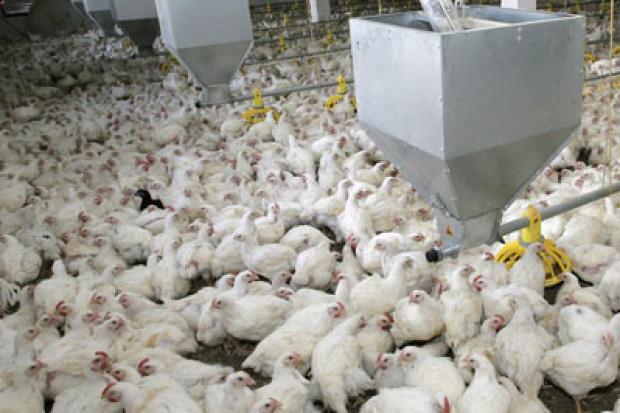 Ogłoszenie rolnicze: Ukraina. Sprzedam kury nioski 3,5 zl/szt ~ 1,9kg masa ciala o barwie brazowej