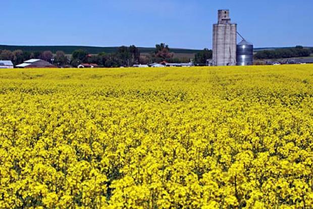 Ogłoszenie rolnicze: Ukraina.Olej rzepakowy 2,2 zl/litr