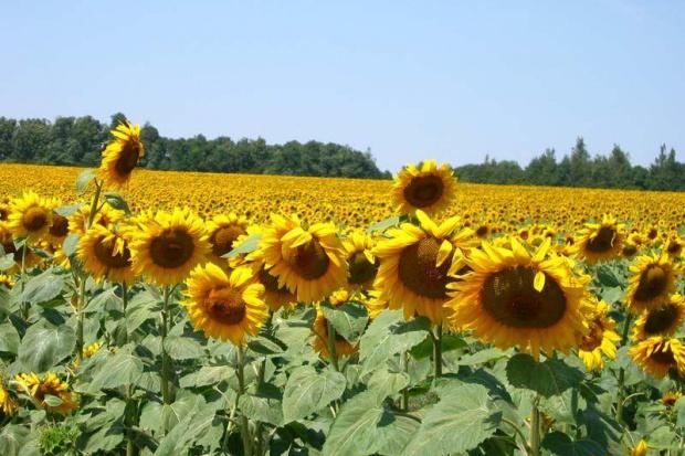 Ogłoszenie rolnicze: Slonecznik konfekcyjny od producenta 1,7 zl/kg