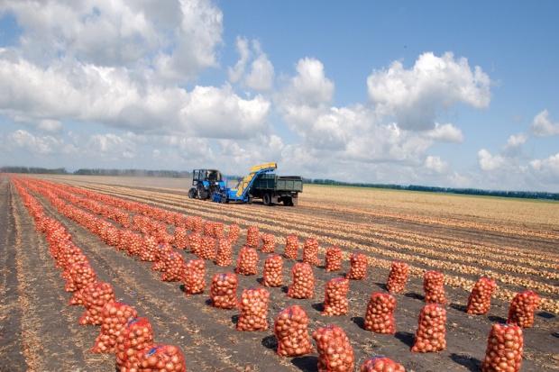 Ogłoszenie rolnicze: Ukraina.Ziemniaki 0,25 zl/kg w siatkach 25kg