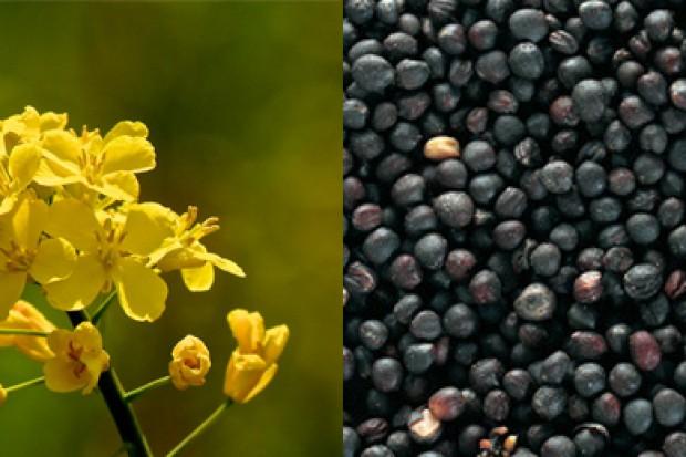 Ogłoszenie rolnicze: Ukraina. Rzepak 1200 zl/tona