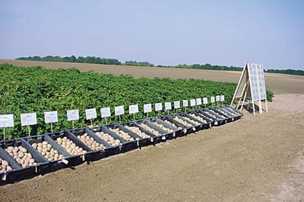 Ogłoszenie rolnicze:  Ukraina. Warzywa, kapusta biala, czerwona, kwaszona. Ziemniaki 0,20 zl/kg