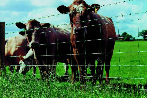 Ogłoszenie rolnicze: Ukraina. Krowy, bydlo opasowe 700 zl/szt. Mleko 4% cena 0,50 zl/L