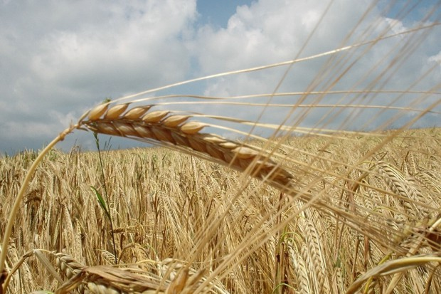Ogłoszenie rolnicze: Kupię zboża ekologiczne i w konwersji! Szybka płatność! Wysokie ceny!