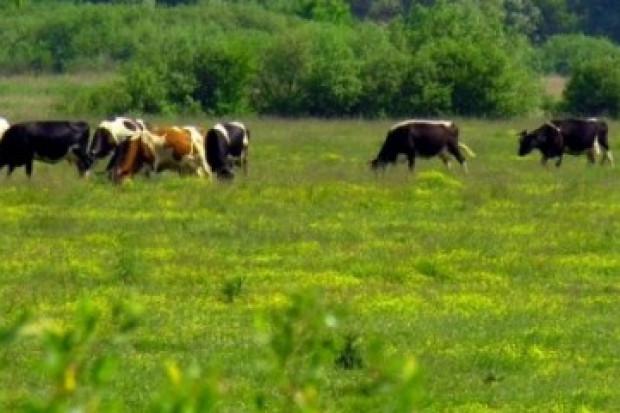 Ogłoszenie rolnicze: Krowy, bydlo opasowe 700 zl/szt. Mleko 4% cena 0,50 zl/litr