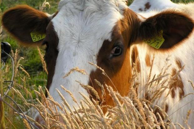 Ogłoszenie rolnicze: Ukraina. Stada krow, owiec, koz 4 zl/kg. Farma mleczna, przetwornia warzyw